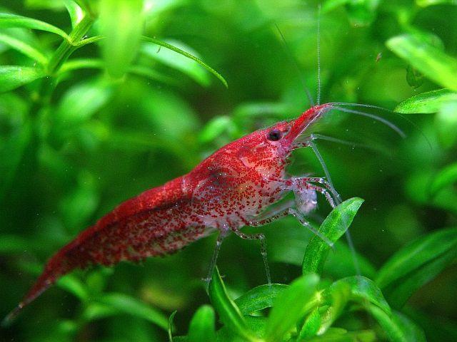 Креветки аквариумные вишня