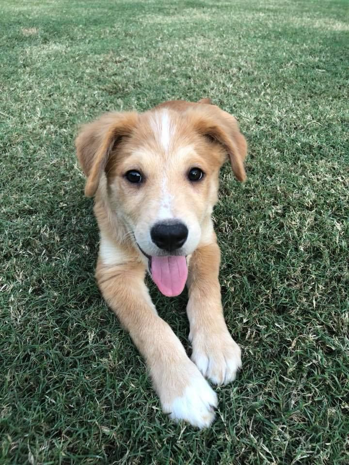 Adopt Henry On Golden Retriever Mix Dogs Pup