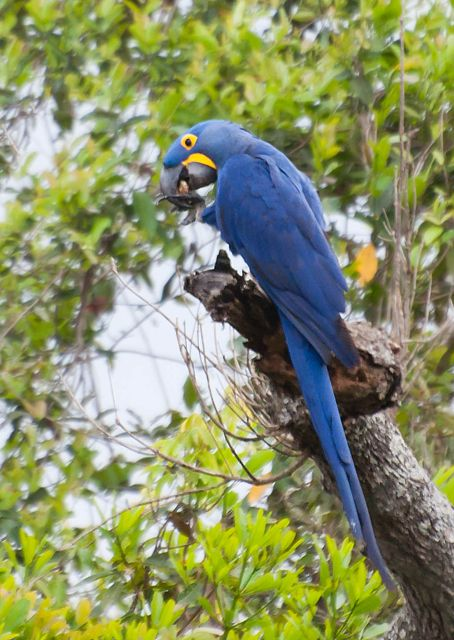 Foto arara-azul-grande (Anodorhynchus hyacinthinus) por Ivan Angelo | Wiki Aves - A Enciclopédia das Aves do Brasil