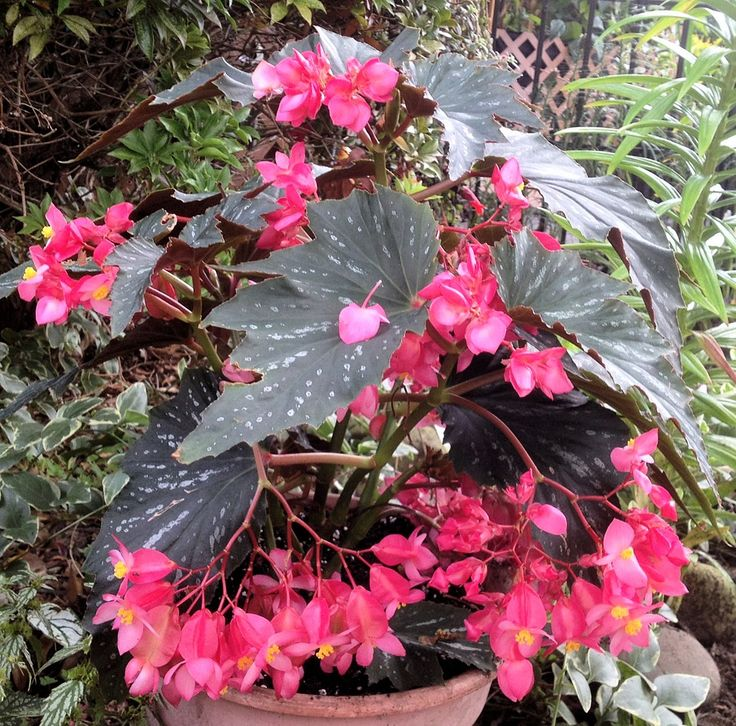 Angel Wing Begonia, Pink Flowers, Well Rooted Plant | eBay