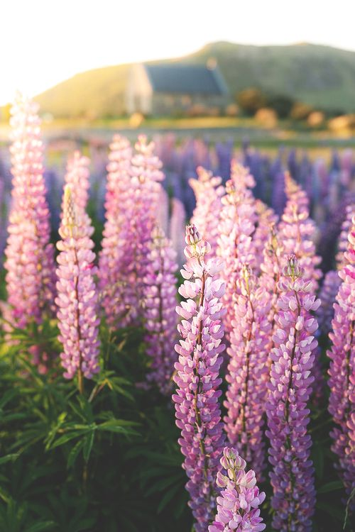 ♔ Enchanted Fairytale Dreams ♔Wild Flower, Beautiful Lupin, Lakes Tekapo, Lupin Fields, Purple Flowers, Flower Gardens, Beautiful Flowers, Flower Fields, New Zealand