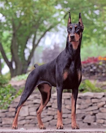 Dobermans....loved our doberman Max...he was such a nice dog...though he had a particular dislike for the UPS driver...