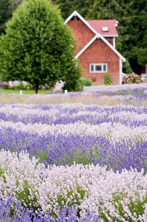 Purple and white lavender