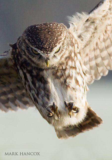 Little Owl - Mark Hancox Bird Photography