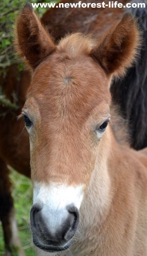 My New Forest foal aged 17 hours old!