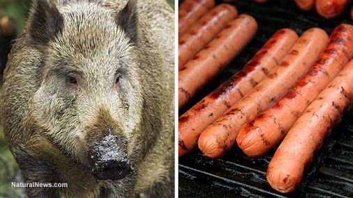 #chemicalsin processed#meat http://www.naturalnews.com/053556_wild_hog_bait_sodium_nitrite_processed_meat_additive.html