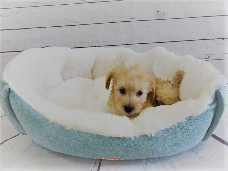 Maltipoo puppy for sale in LA MIRADA, CA. ADN-47088 on PuppyFinder.com Gender: Male. Age: 15 Weeks Old