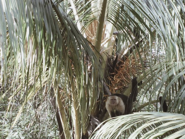 Capuchin Monkey, Costa Rica || @esha__ #costarica #travel #centralamerica #backpacking #monkey #capuchin