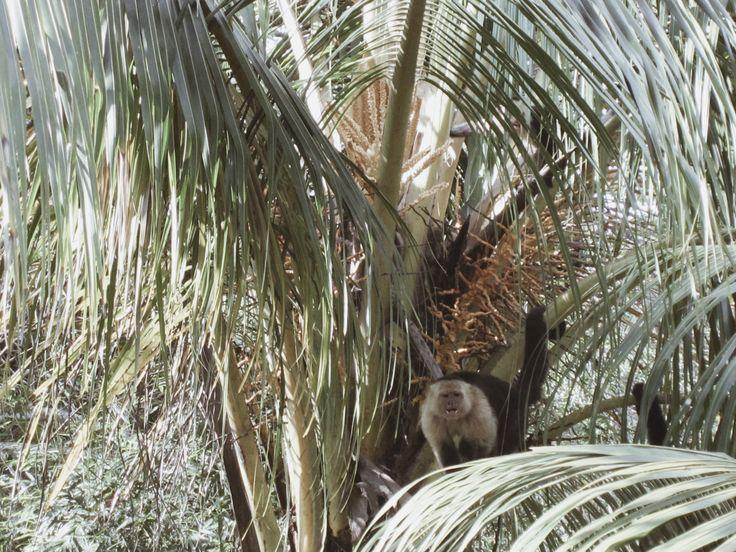 Capuchin Monkey, Costa Rica    @esha__ #costarica #travel #centralamerica #backpacking #monkey #capuchin
