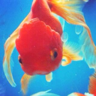 I want some fancy goldfish.