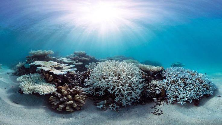 Steinkorallen sind bunt. Zerbricht aber die Symbiose von Korallen und Algen, bleibt nur ihr weißes Kalkskelett. Geisterhaft. So sieht es jetzt vor den Malediven aus.