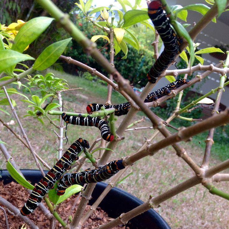 Chenilles d'Isognathus caricae (Sphingidae) dans le jardin - un gros papillon de nuit moche, en fait.