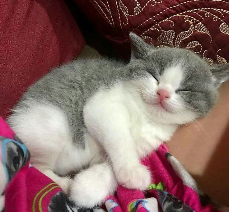 A Pretty Content Sleeping Kitten.