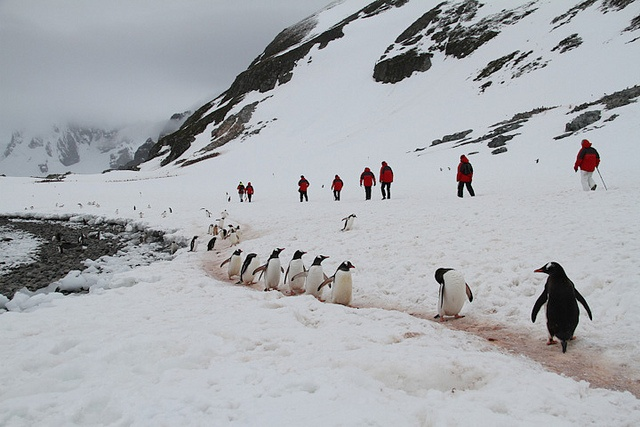 A gentoo penguin highway on Cuverville Island, Antarctica. Spotted on Silver Explorer expedition cruise 7126. More info: http://www.silversea.com/expeditions/voyage-journals/?voyagejournal=7126=14