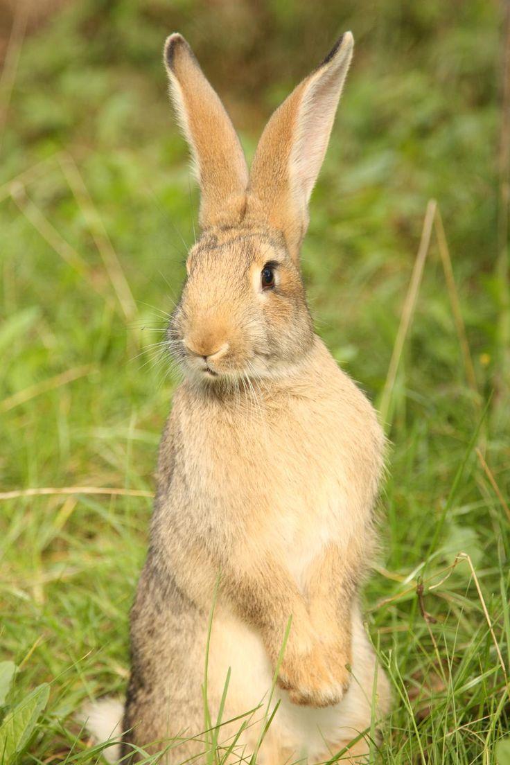 Википедия для детей заяц