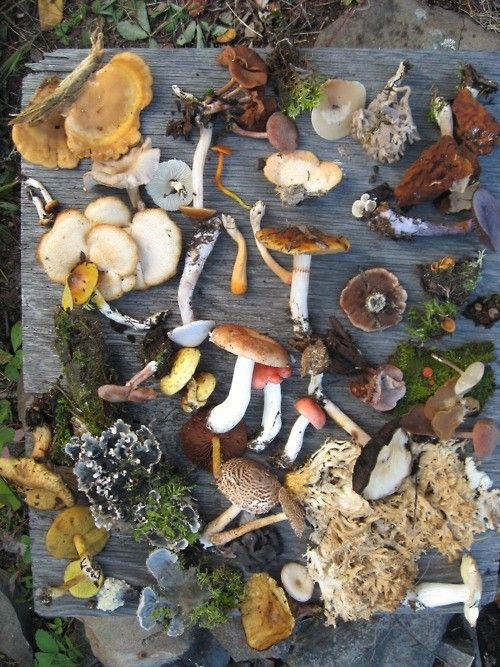 Wild mushrooms - I wonder if Daniel foraged for wild mushrooms while he was lost in A Great Wilderness