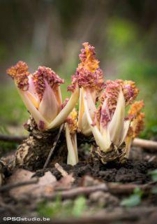 <p>++Seizoengroente+van+de+vroege+lente:+de+gebleekte+jonge+scheuten+van+zeekool+zijn+een+ware+delicatesse;+zacht,+zilt+en+sappig,+met+slechts+een+weinig+koolsmaak.+Zeekool+(Crambe+maritima)is+een+authentieke+inheemse+plant;+nog+steeds+te+vinden+aan+de+Noordzeekust,+en+sinds+de+17de+eeuw+gekweekt+in+de+tuinen+van+…</p>