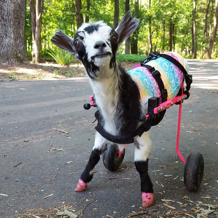 121 best disabled pets images on pinterest doggies cubs
