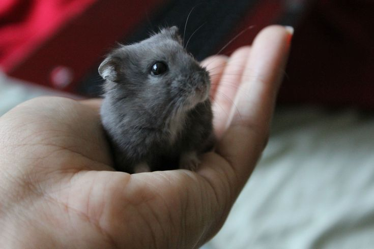 Blueberry Dwarf Hamster...what a cutie!