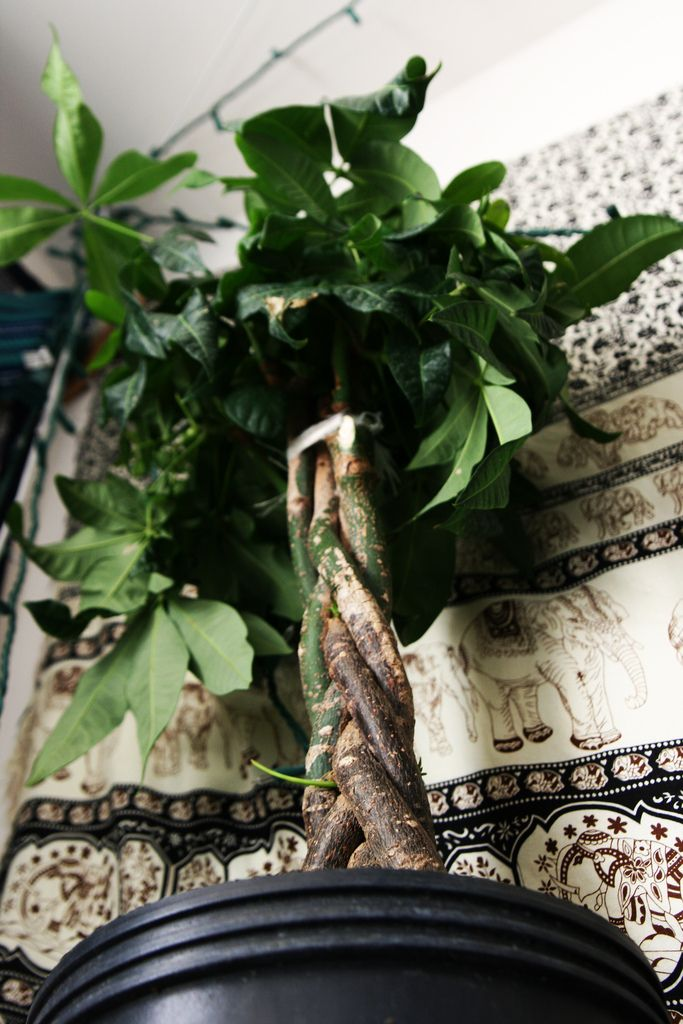 Money Tree Plant Care: Tips On Growing A Money Tree Houseplant
