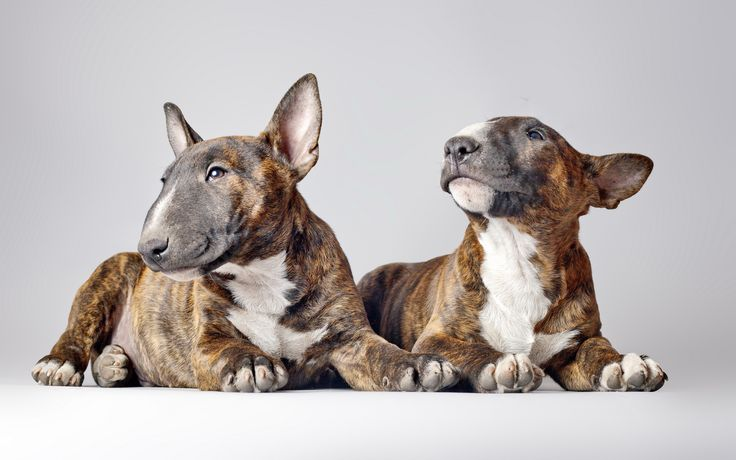 English Bull Terrier Puppies Wallpaper