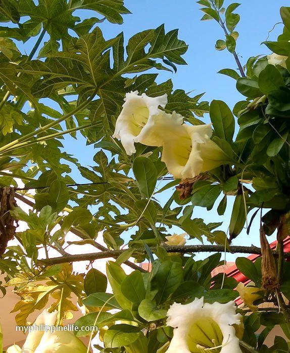 Chalice vine solandra grandiflora garden pinterest for Philippine garden plants
