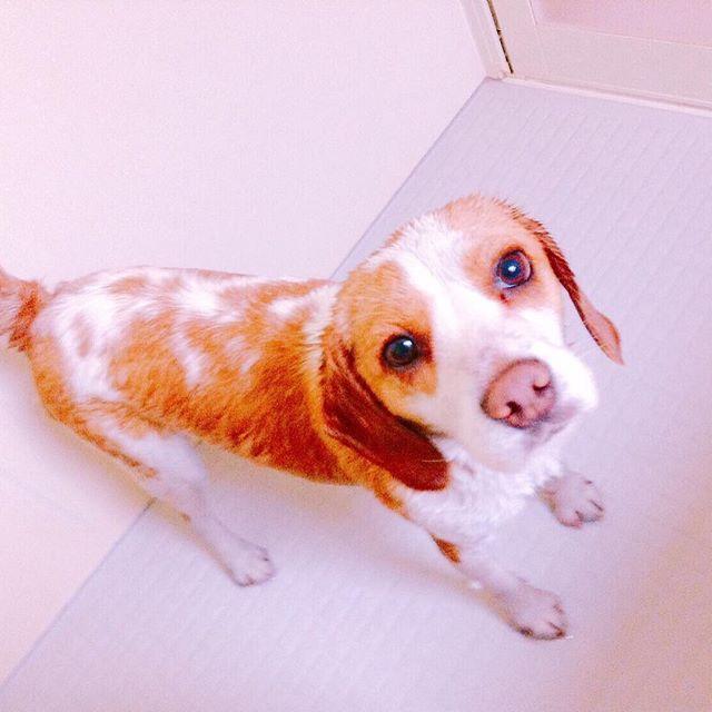 #ビーグル#レモンビーグル#はるくん#犬のいる暮らし #犬#愛犬#お風呂#抜け毛#凄い 娘にシャンプーしてもらったはるくん🐶ふわふわモコモコになって可愛さ倍増中😍ただし抜け毛が凄い😅ビーグルの抜け毛凄すぎる😵