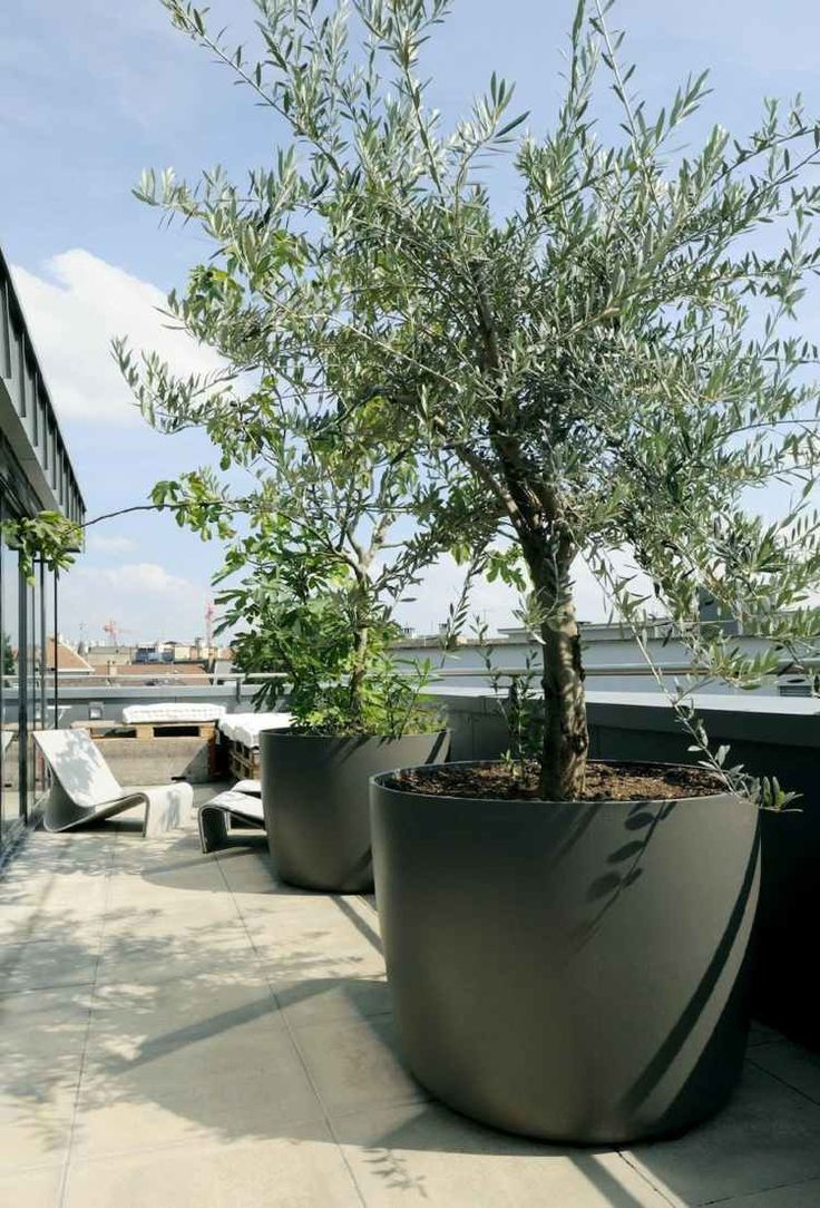 grand olivier en pot pour l'aménagement de toit-terrasse moderne