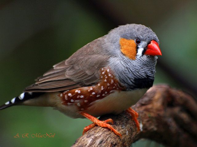A huge aviary with lots of these little cuties living happily and safely, where i could just sit and watch them.          Zebra Finch