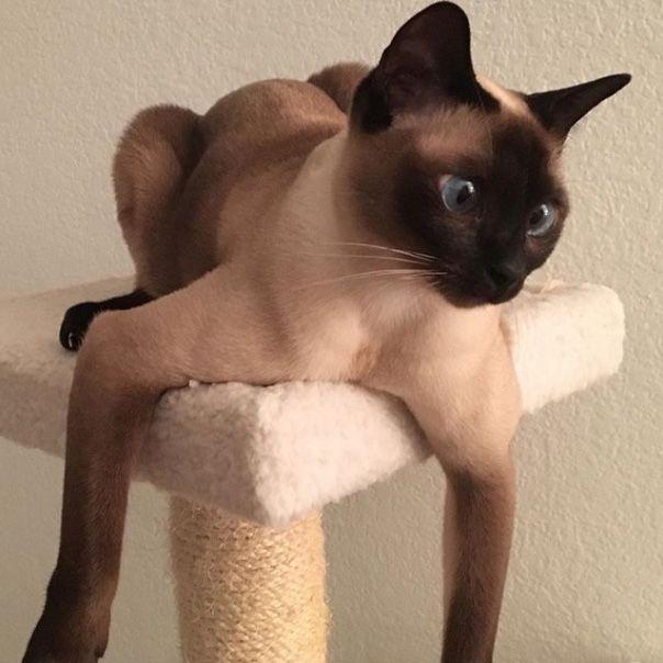 Razz - Tonkinese cat
