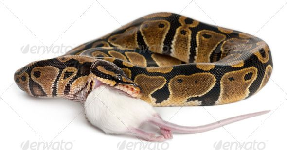 Python Royal python eating a mouse, ball python, Python regius, in front of white background by Lifeonwhite. Python Royal python eating a mouse, ball python, Python regius, in front of white background