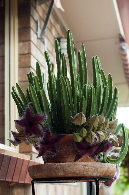 "Stapelia hirsuta in flower. Planted in a terra cotta pot. ❥""Hobby&Decor"" inspirações! | #hobbydecor #arquitetura #art #decor #interior #garden"