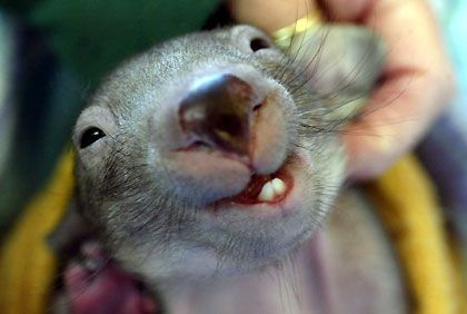 Utterly adorable ... a baby wombat  Megan, you make this face sometimes and it's just as cute