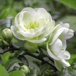 flowering quince (chaenomeles speciosa)