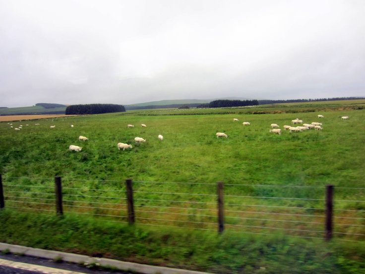 Sheep and fields of heather