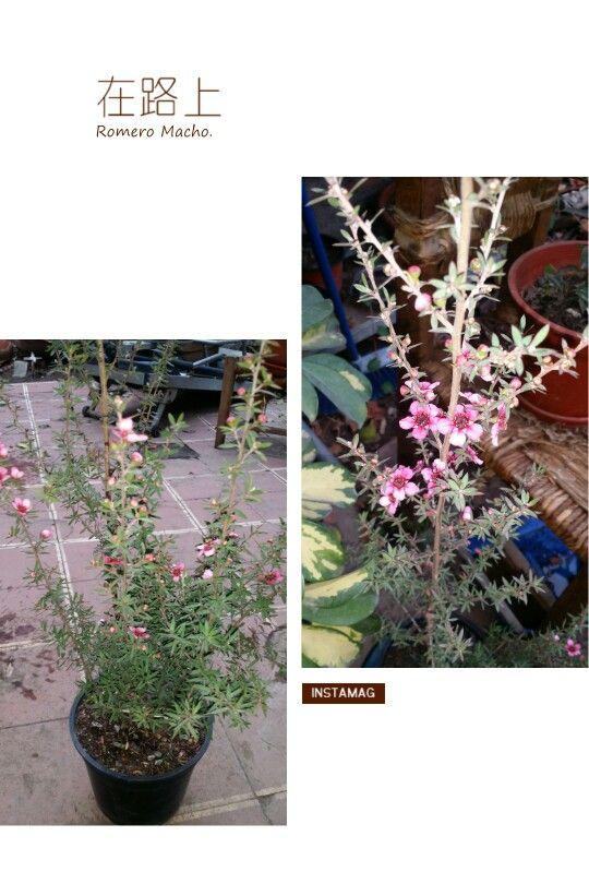 """"""" Leptospermo, Leptospermum --Leptospermum scoparium """" - Nombre científico o latino: Leptospermum scoparium  - Nombre común o vulgar: Leptospermo, Leptospermum. - Familia: Myrtaceae. - Origen: Australia y Nueva Zelanda. - Arbusto pequeño, de 1-1,5 m de altura. - Hojas muy pequeñas púrpura verdoso. - Sus flores son dobles de color rojo intenso, blancas y rosadas y de larga duración en la planta. - Existen más de 85 cultivares. - Le gusta el sol pero se adapta bien a la semisombra. - Prefiere…"""