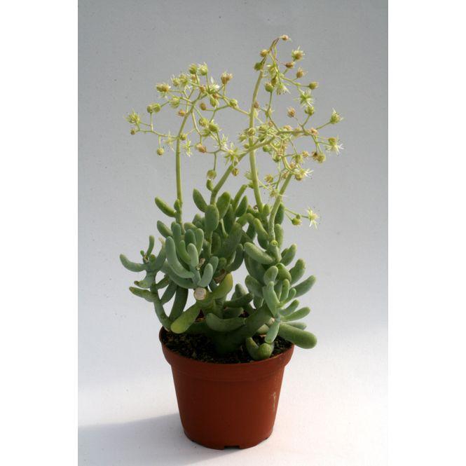 Sedum allantoides