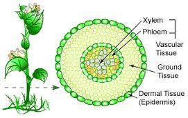 plant meristematic dermal ground tissue vascular tissue