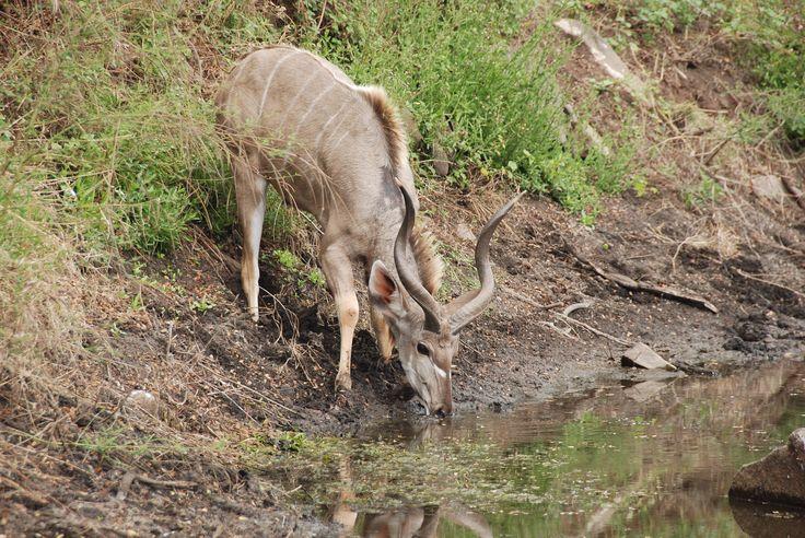 Young kudu bull, Kruger National Park
