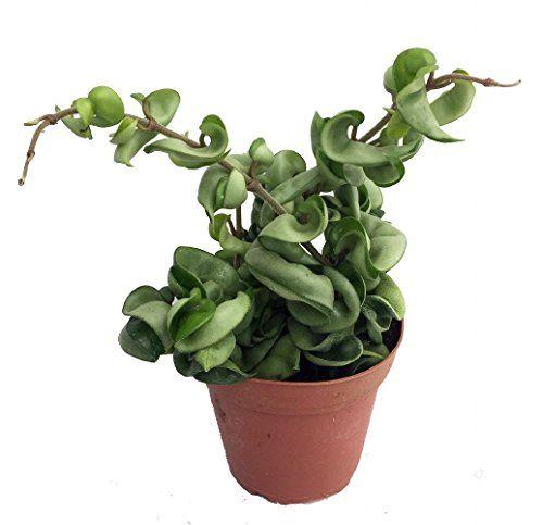 how to grow hoya plant