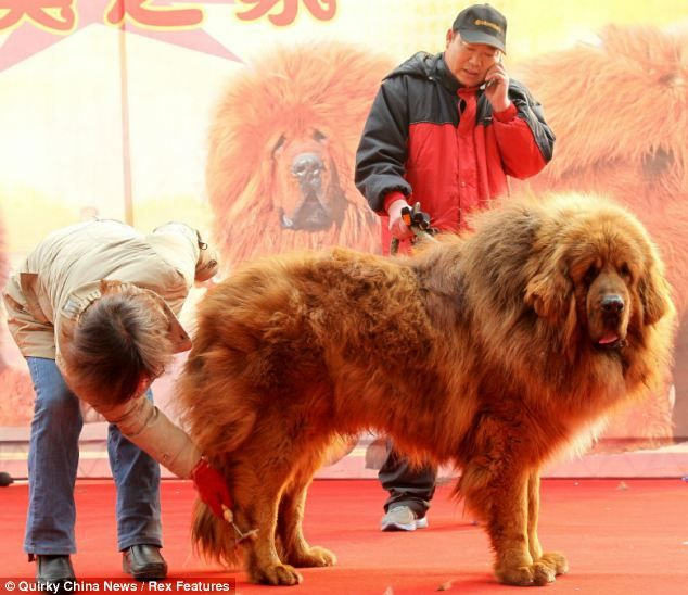 Emperor the Tibetan mastiff