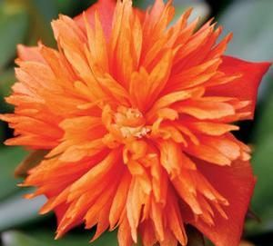Portulaca grandiflora 'ColorBlast Double' Series Purslane from Longfellows Garden