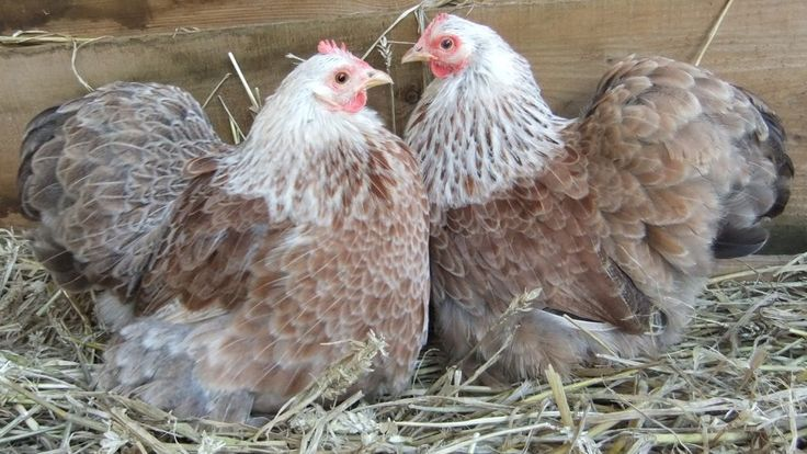 40 best pekin bantams images on pinterest chicken coops for Fancy chicken coops for sale