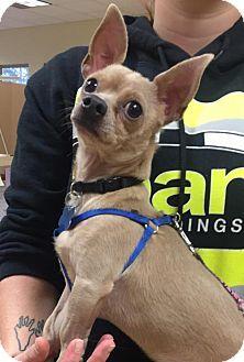 Burlington, WA - Chihuahua. Meet Spencer, a dog for adoption. http://www.adoptapet.com/pet/17116782-burlington-washington-chihuahua