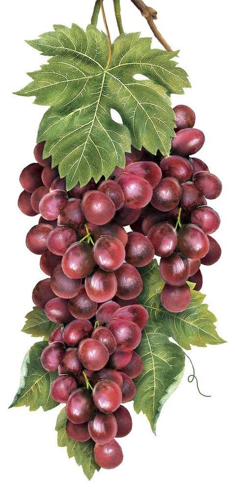 Vineyard Grapes (Mary Lake Thompson)