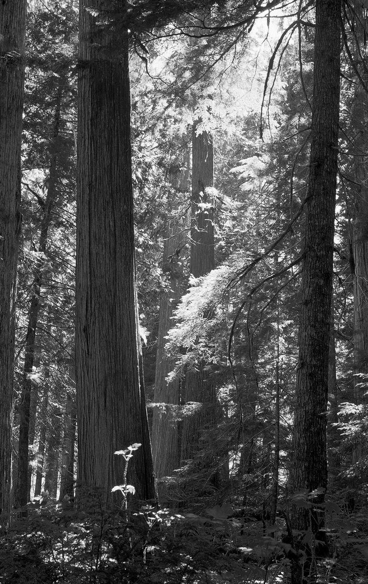 VIRGIN FOREST BY JOHN BARTOSIK