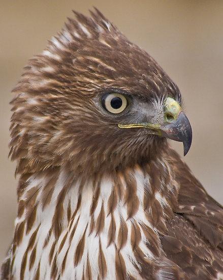 54 Best Redtail Hawk My Totem Images On Pinterest Birds Of Prey