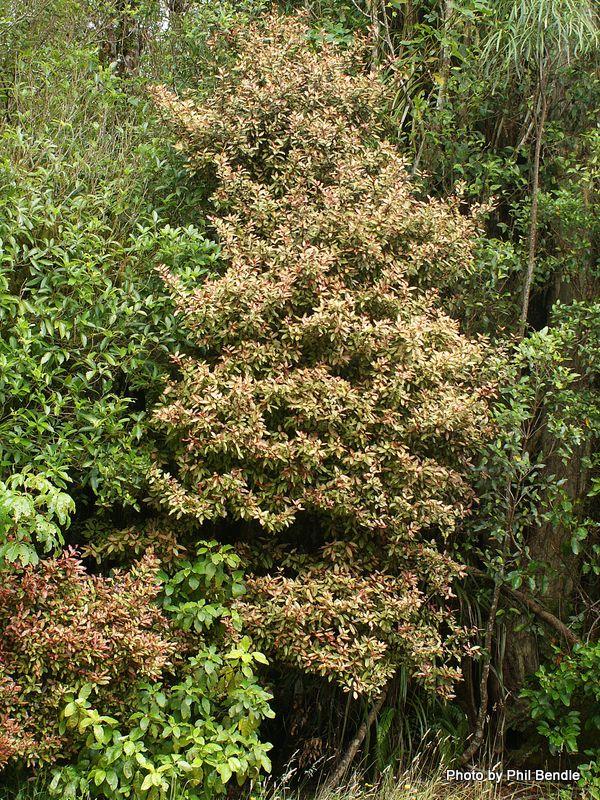 Mountain Horopito Pseudowintera colorata Gewächs