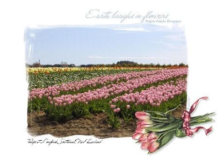 Beautiful tulips