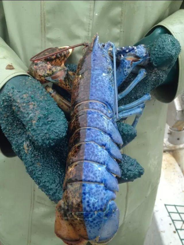Half male, half female lobster caught off the Newfoundland coast.